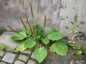 Groblad er en av urtene du ofte går forbi eller oppå. (Foto Ole Husby - Flickr)