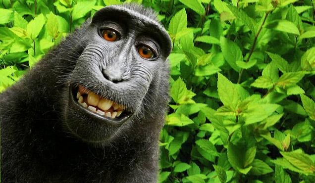 Selfie av en ape på bali. Naturfotograf David Slater fikk ikke rettighetene, men han eide kameraet.